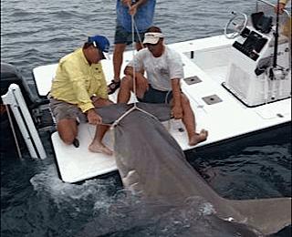 16ft Hammerhead Shark, Boca Grande Pass, Florida, Catch & Release, Sanibel Fishing & Captiva Fishing, Sanibel Island, Friday, June 2, 2017. File Photo.