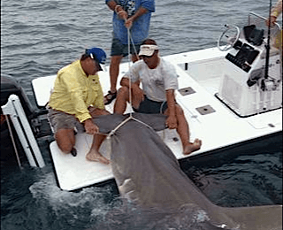 16 ft. Hammerhead Shark, Boca Grande Pass, 2010, Sanibel Island Fishing.