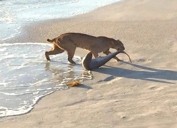 Captiva Fishing Report: Bobcat & Shark ~ Sanibel, Captiva, North Captiva, #Captiva